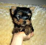 Tea-Cup Yorkie Puppies For Adoption