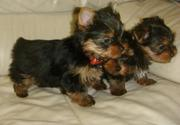 CUTE XMAS TEACUP YORKIE PUPPIES FOR FREE ADOPTION