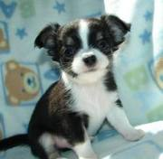 X-Mas Chihuahua puppies for Adoption.